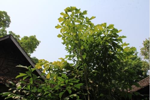 ความหมายของต้นเขืองหรือต้นเต่าร้าง