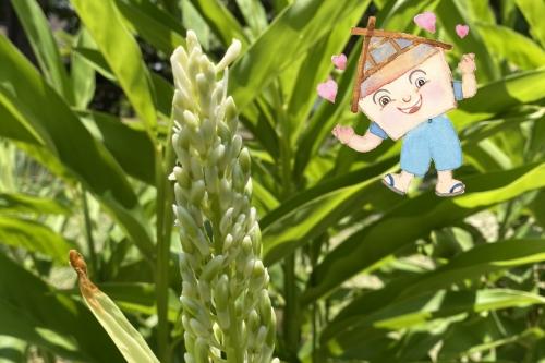 ดอกข่า